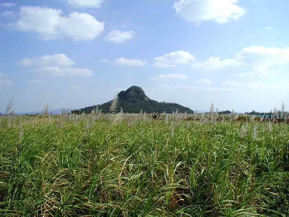 サトウキビの花と城山01