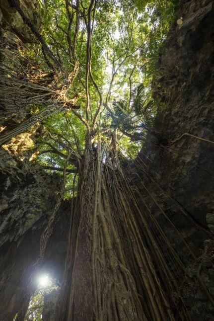 ガンガラーの谷 ガジュマルの木